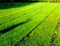 Mexican Green Lawn Grass