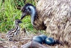 Project of Emu Birds-Farming, Breeding and Meat Production