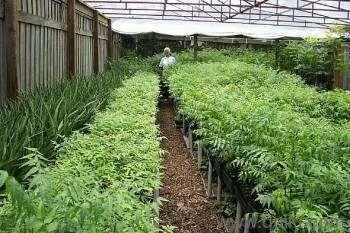 Melia Dubia Nursery Plants