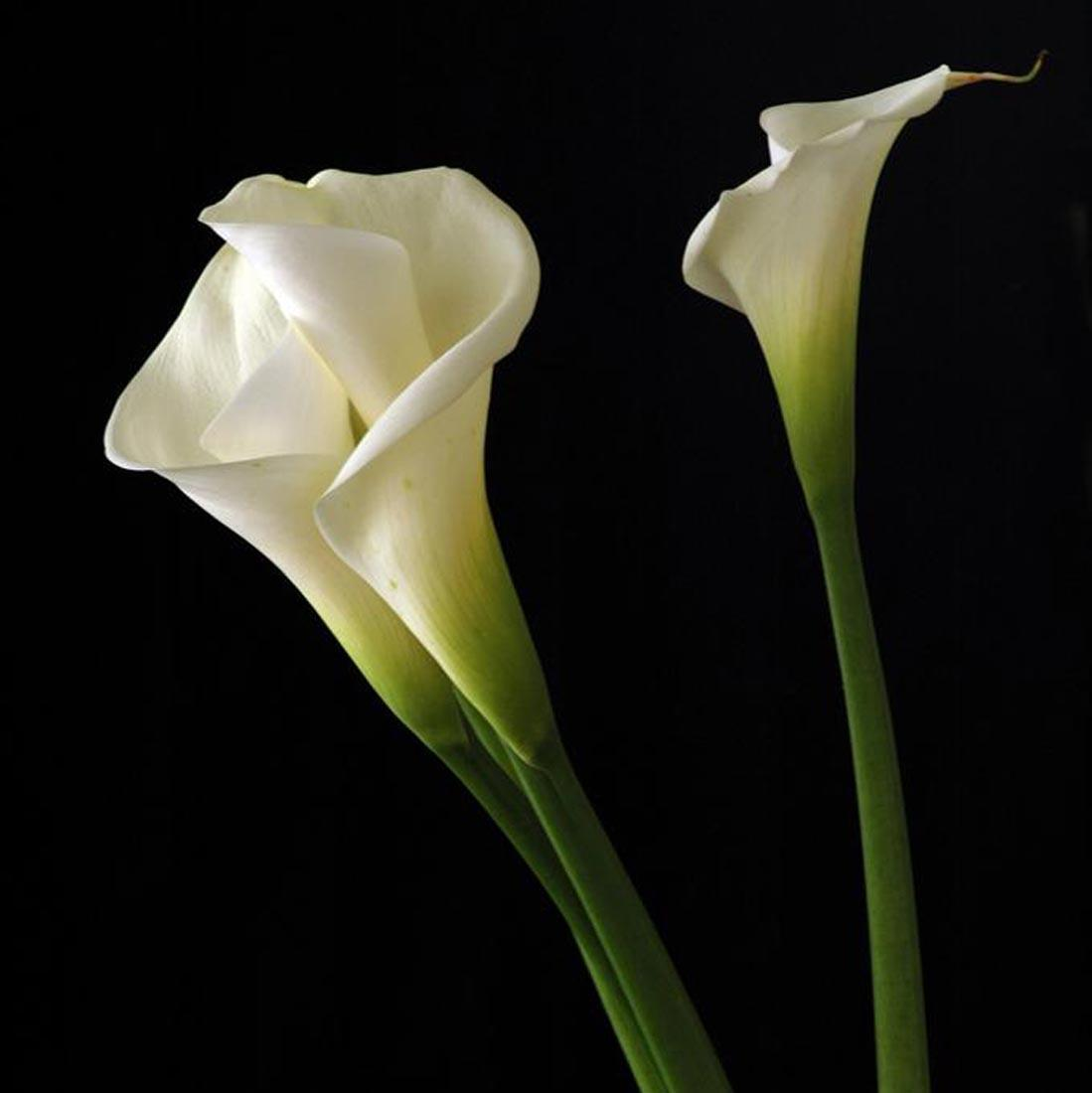Imported Fresh Holland Flowers Imported Calla Lilies Wholesaler