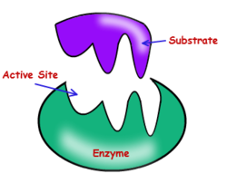 Modifying Enzymes