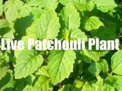 Patchouli Plantation