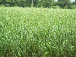 punjabi grass seed
