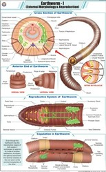 Earthworm For Zoology Chart