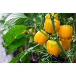 Capsicum Seeds (Sweet Pepper) Bachata
