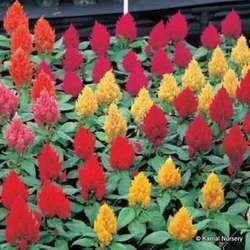 Celosia Winter FlowerF1 Hybrid Seeds