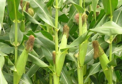 Hybrid maize seed manufacturer from vadodara hybrid maize seed voltagebd Image collections