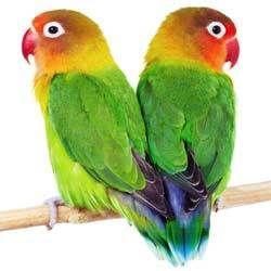 Love Bird Breeder Feed