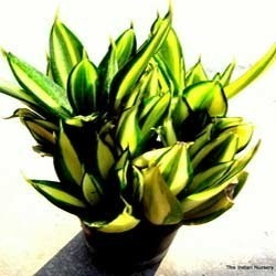 Sanseveria Golden Hahnii Ornamental Plants