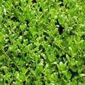 Brahmi Leaf / Centella Asiatica