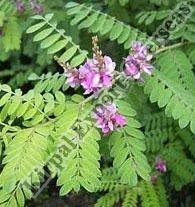 Indigo Plants - Wholesale Price & Mandi Rate for Indigo Plants
