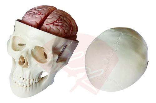 Skull Model With 8 Parts Brain - View Specifications