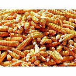 Maize Cholam