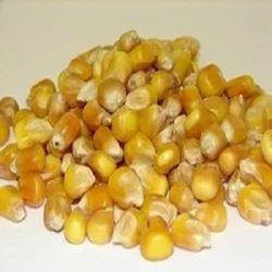 Whole Maize Seed
