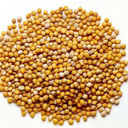 Mustard Seed   Matha Enterprises   Exporter in New Ellis