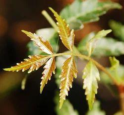Neem Leaves in Thoothukudi, Tamil Nadu | Neem Leaves Price in