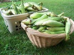 American Shelled Corn
