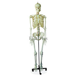 Life Size Skeleton 170 CM Tall
