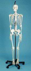 Skeleton Model ( Male)