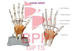 Hand Joint Anatomy Model