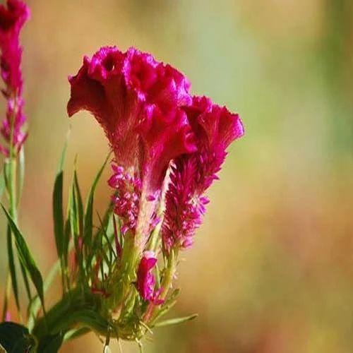Hen S Horn Flowers