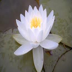 White Lotus Flower View Specifications Details By A One Flower
