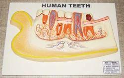 Human Teeth Model On Board