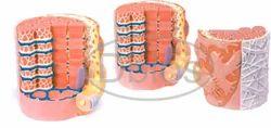 Micro Anatomy Of Muscle Fiber
