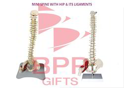 Mini Spine With Hip & Ligaments Anatomy Model