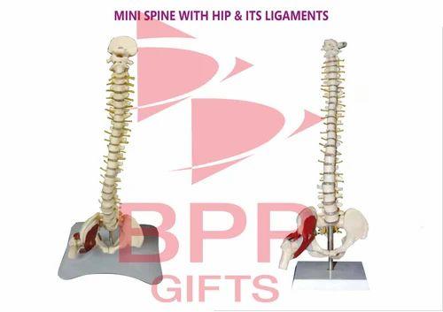 Mini Spine with Hip & Ligaments - Bharatiya Plastic Products, Mumbai ...
