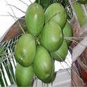 Green Tender Coconuts