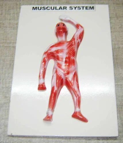 Human Muscular System Model At Rs 275 Pcs Ambala Cantt Ambala