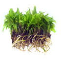 Agar Plant