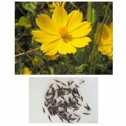 Cosmos Sulphureus Seed