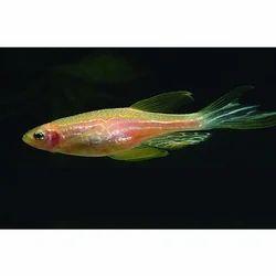 Pink Zebra Danio Fish
