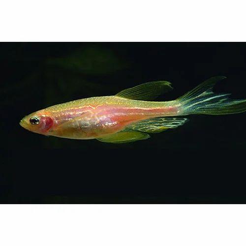Pink Zebra Danio Fish Aqua Culture Aquarium Supplies Javed