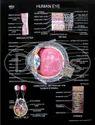 Human Organ Charts