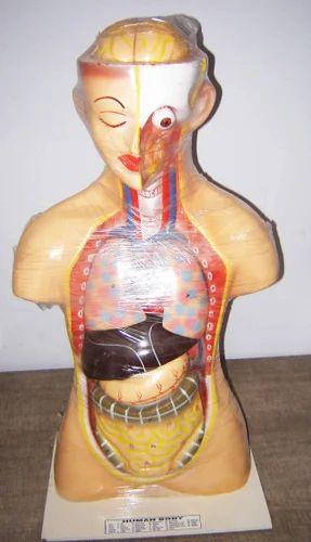 Human Torso Model at Rs 2500 /pcs | Torso Models | ID: 6373076388