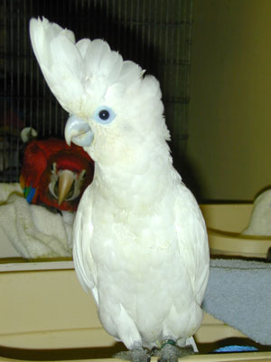 pets - Rose Breasted Cockatoo Manufacturer from Bengaluru