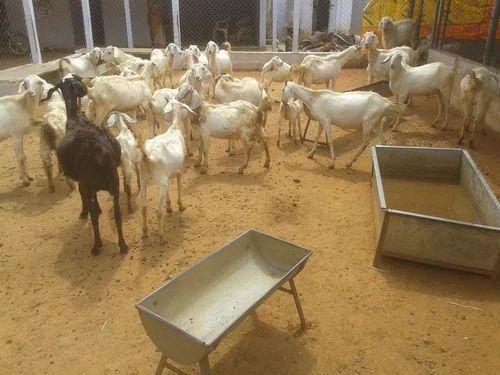 Thalassery/Tellicherry Goats, Farming And Pet Animals