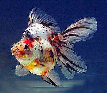 Calico Ryukin Goldfish Aqua Culture Aquarium Supplies