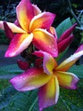 Plumeria/ Frangipani / Fragrant Flower Plants