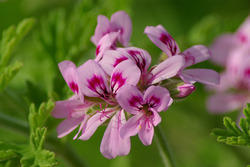 Rose Geranium Oil