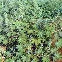 Castor Hybrid Seeds