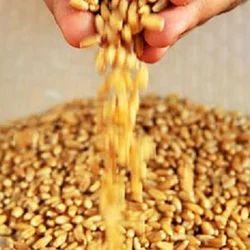 Organic Whole Wheat