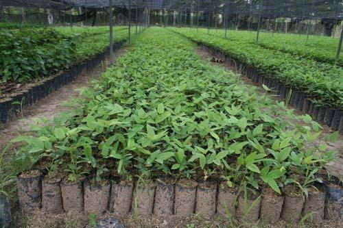 Teak Plant, Packaging Type: Polybag, Rs 45 /peace, India