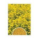 Yellow Research Mustard Seeds Urzza (Yellow)