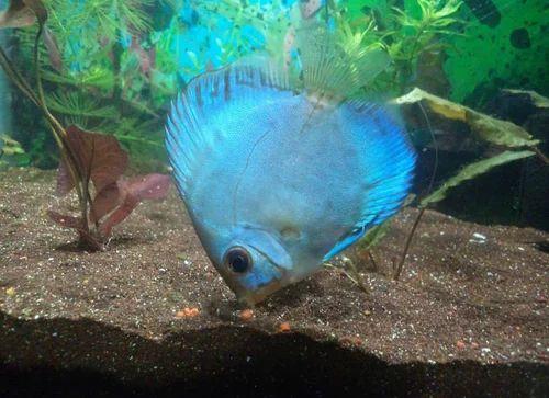 Discus Fish Types | Suyash Aquarium Ratnagiri Service Provider Of Various Types Of