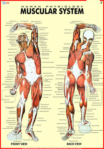 muscular system (human physiology) at rs 150 /piece(s) | daryaganj, Muscles