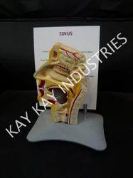PVC Sinus Model